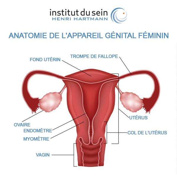 Ovaire et anatomie appareil génital féminin