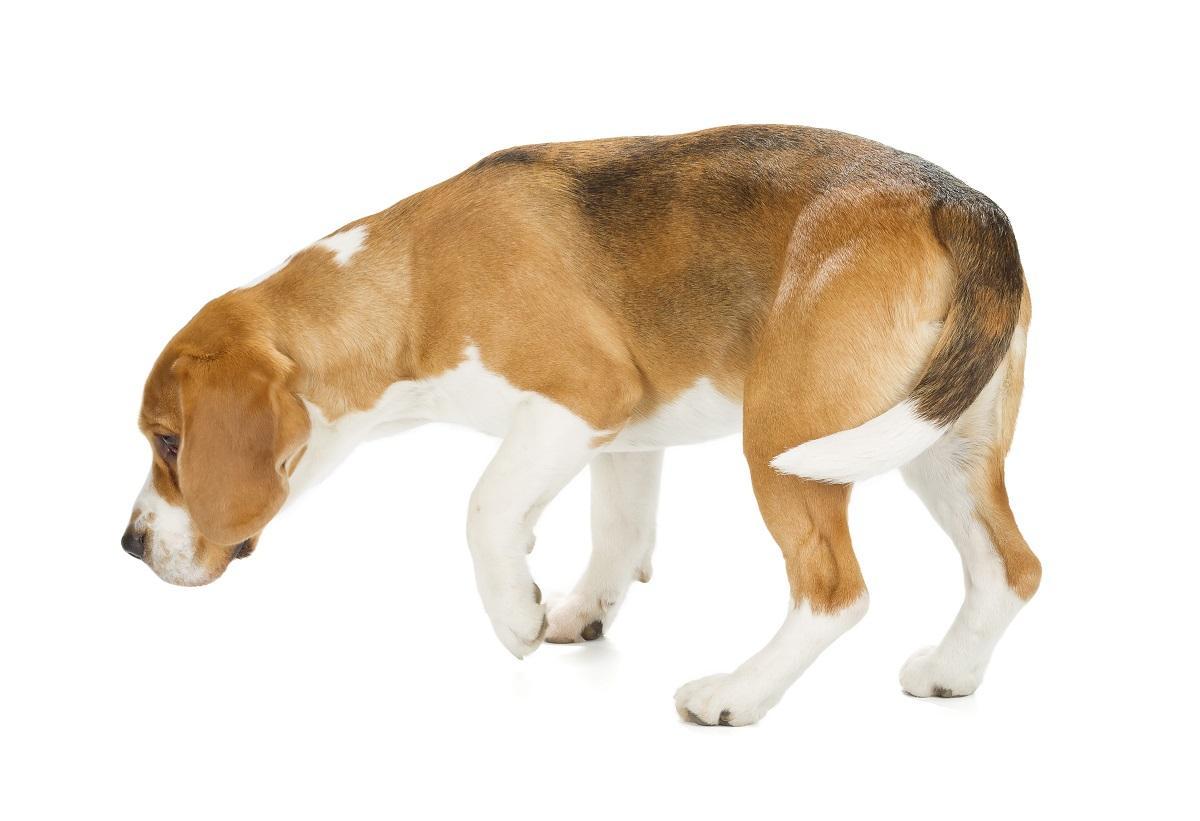 Odorat canin détection cancer du sein