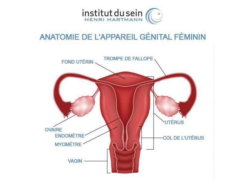 anatomie appareil génital féminin ISHH